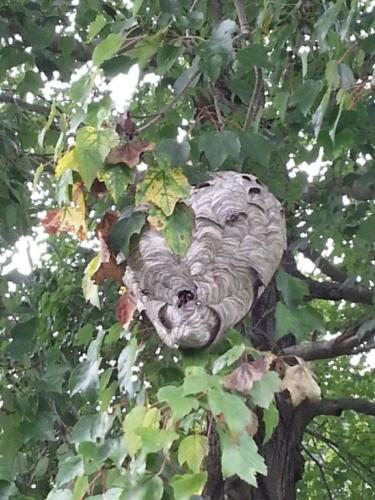 Active Bald Faced Hornets Nest