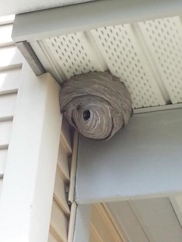 Active Hornets Nest