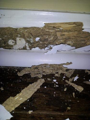 termite damage with Frass & Mud